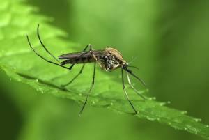 Mosquitosmaller